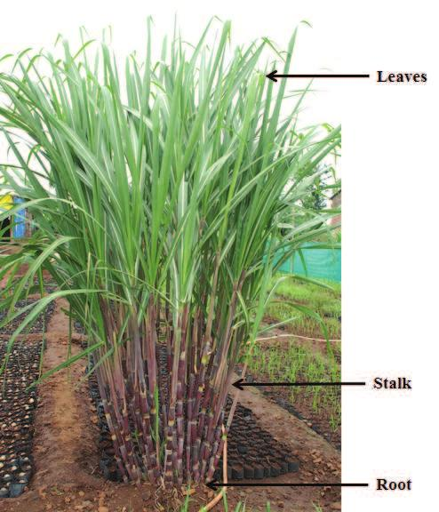 Figure 2.1: Sugarcane plant 16%. The main parts of the sugarcane plant are the Stalk, Leaf, and Root System is as shown in Figure 2.1. 1. The Stalk: The sugarcane is propagated by stem cuttings, containing one or more buds.