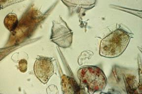 Plankton Phytoplankton are important producers in water
