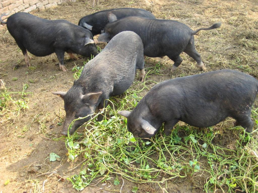 Pigs and Agroecology