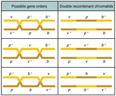 parent will be heterozygous for 3 different genes (construct this genotype by breeding) The other parent will be homozygous recessive for those same genes (find or construct this one too) There are