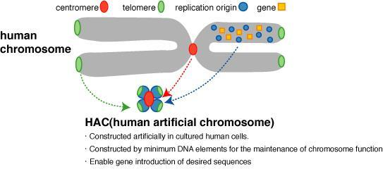 Human artificial chromosome A human artificial chromosome (HAC) is a microchromosome that can act as a new