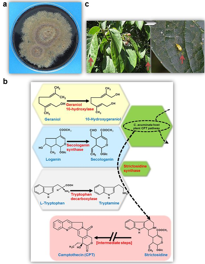250 Metabolomics endophyte is capable of indigenously producing CPT, 9-methoxycamptothecin (9-Me- CPT), and 10-hydroxycamptothecin (10-H-CPT) in submerged in vitro axenic culture (Kusari et al.