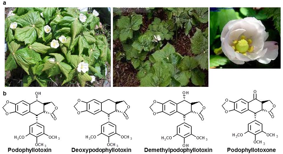 Metabolomics of Endophytic Fungi Producing Associated Plant Secondary Metabolites: Progress, Challenges and pportunities 253 5.1.