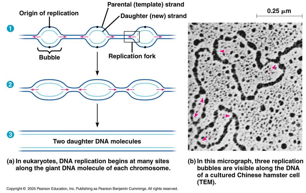 DNA replication begins at special sequences called origins of replication This allows for the process