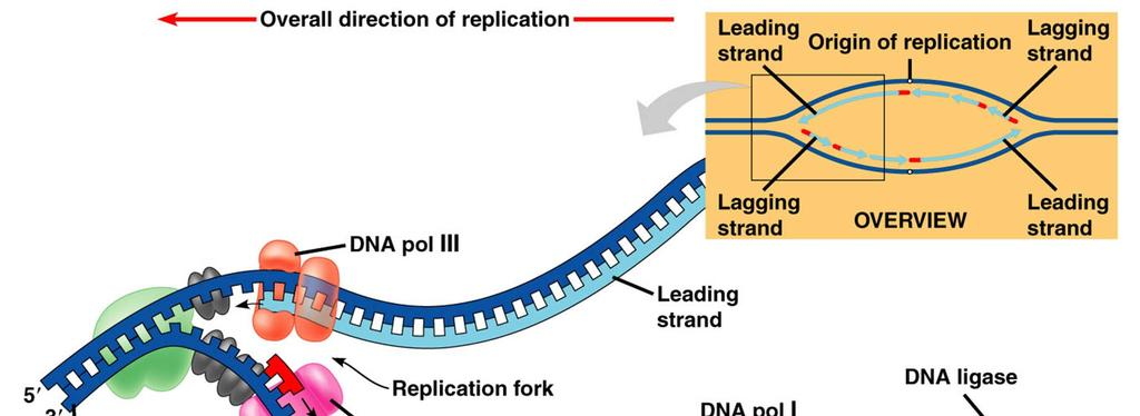 5. DNA polymerase I replaces