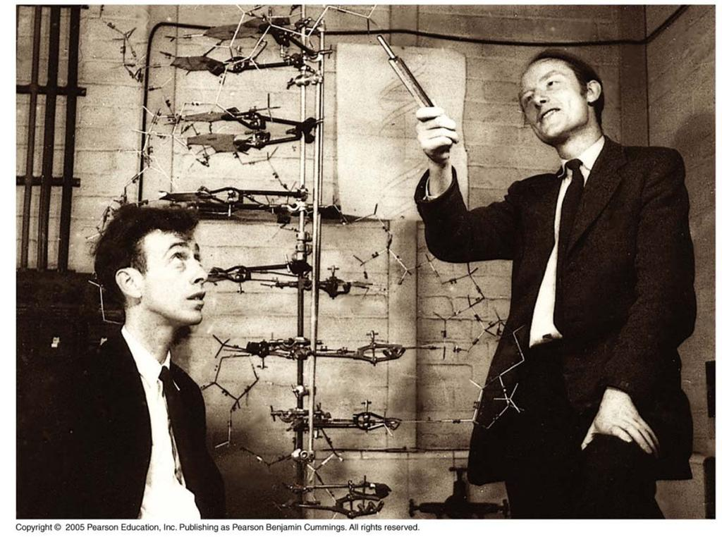 History of DNA James Watson (American) and Francis Crick (English) have been granted the majority