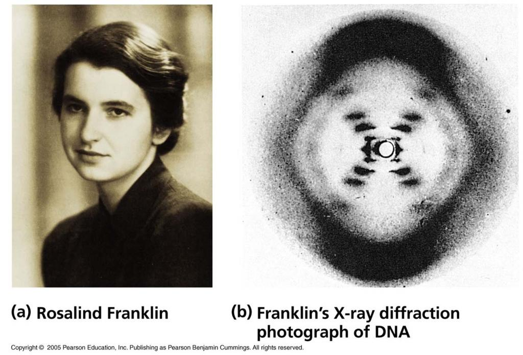 Rosalind Franklin X-ray diffraction of DNA Watson and Crick used these images to finally put the pieces together