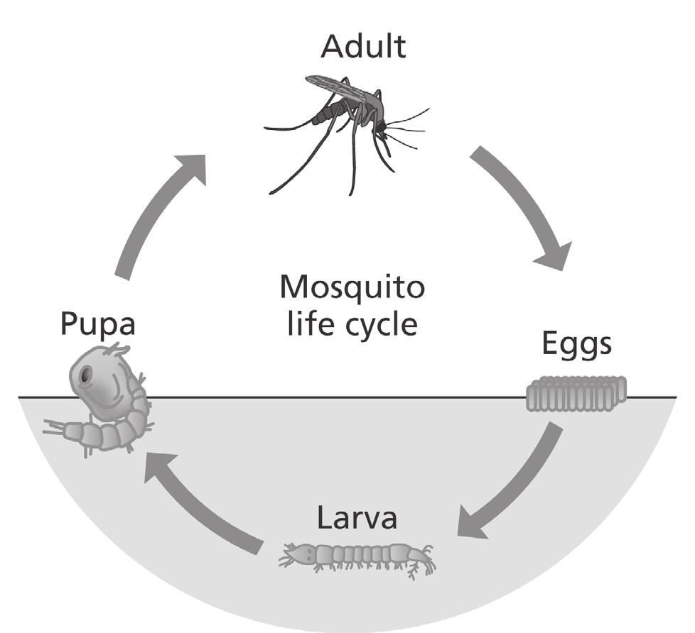 04 Malaria is a disease caused by a single-celled pathogen called Plasmodium. Mosquitoes take in Plasmodium when they feed on an infected person.