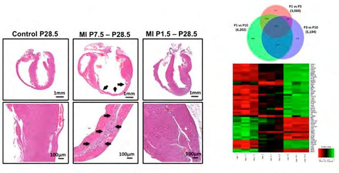 Center of Internal Medicine to boost cipc-recruitment and vascular reendothelialization (Fig. 3).
