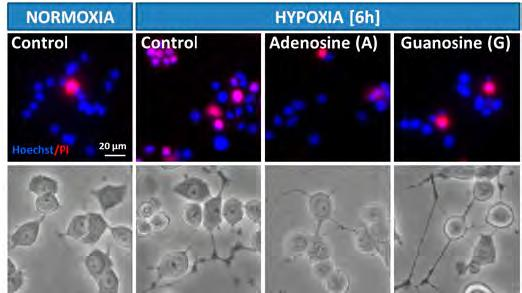 In response to hypoxia/ischemia purine nucleosides are produced and released from cells, and growing evidence suggests that they might act as trophic and neuroprotective factors in the central- and
