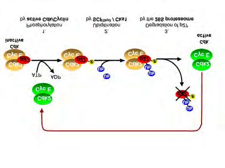 Medical Biochemistry Fig. 2: A feedback loop controls CDK2 activation at the restriction point.