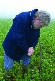 Paul Brown inspects the rooting depth of a winter cover crop. can help improve a soil where structure has taken a hit from heavy machinery and will keep it in good form against the heavy winter rains.