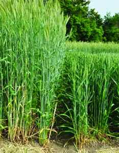Hybrid rye has a high dry matter yield and can be harvested early, helping with blackgrass control. is maize, energy beet or rye.