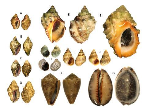 4. Conclusion Here we present the first dedicated (though preliminary) survey of the rocky-shore gastropods along the South China Sea coastline of Brunei Darussalam (excluding Brunei Bay), as a proxy