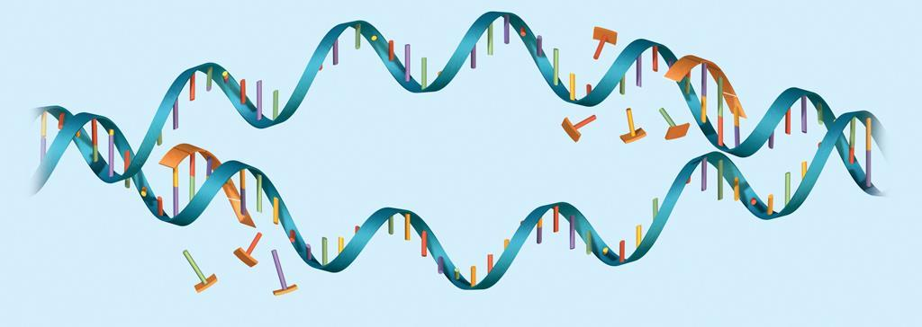 8.3 DNA Replication Proteins carry out the process of replication. DNA serves only as a template. Enzymes and other proteins do the actual work of replication.