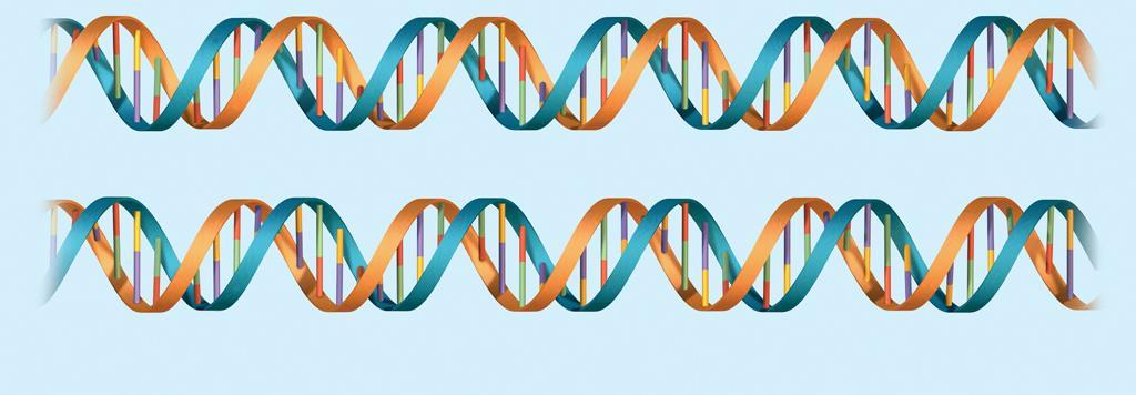 8.3 DNA Replication Two new molecules of DNA are formed, each with an original strand and a newly