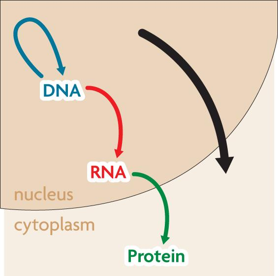 8.4 Transcription RNA carries DNA s instructions outside of the nucleus.