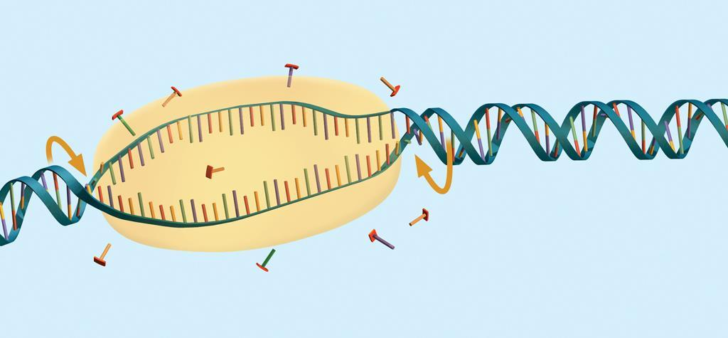 8.4 Transcription transcription - copies DNA to make a strand of mrna Transcription is catalyzed by RNA polymerase.