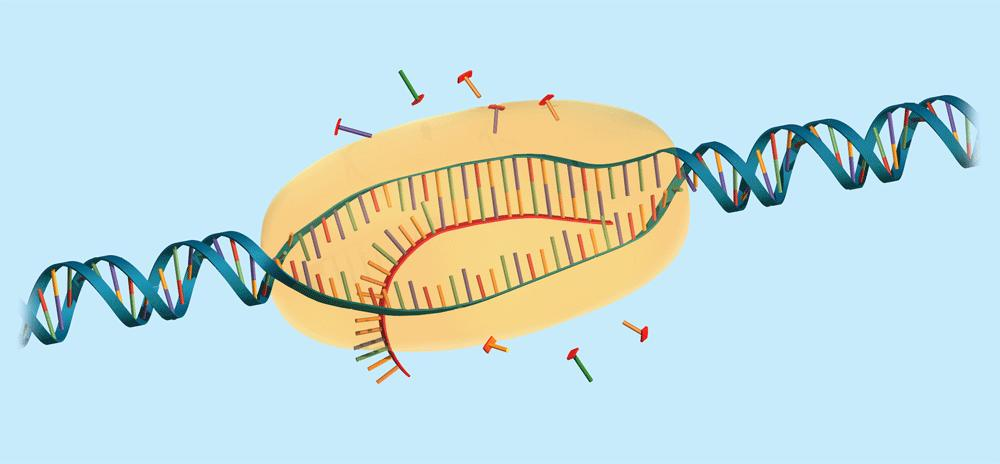 8.4 Transcription RNA nucleotides pair with one strand of the DNA RNA polymerase bonds the nucleotides together