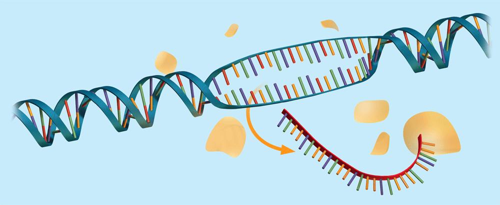 8.4 Transcription The RNA strand detaches from the DNA once the gene is transcribed.