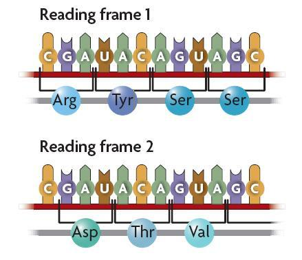 8.5 Translation A change in the order in which codons are read changes the resulting