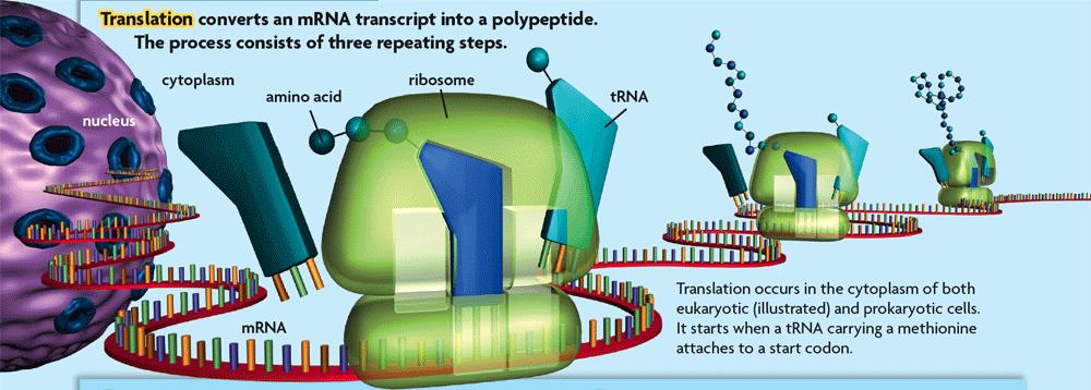 8.5 Translation For translation to begin, trna binds to a start codon and signals the ribosome to assemble.