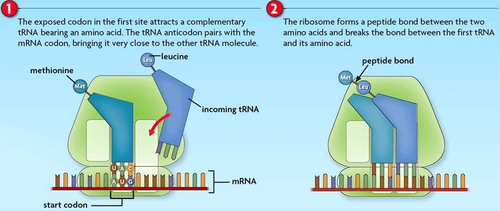 8.5 Translation The ribosome helps form a peptide bond between the neighboring amino acids.