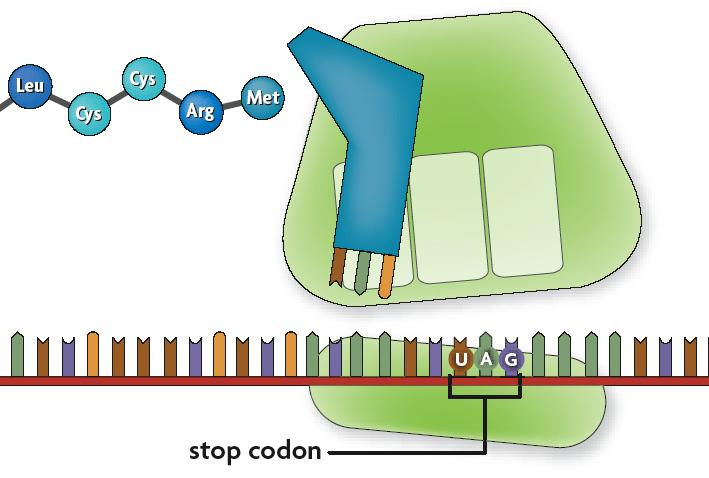 8.5 Translation Once the stop codon is reached, the ribosome releases the polypeptide and disassembles.