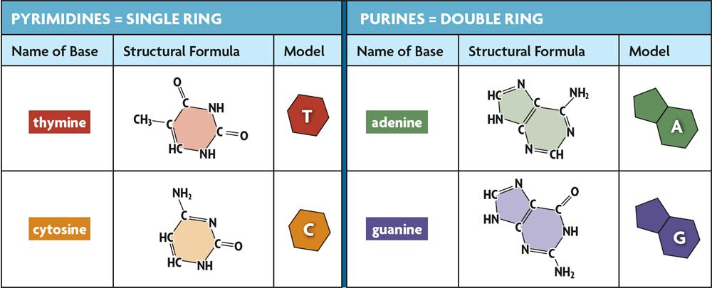 8.2 Structure of DNA The nitrogen containing bases are the only difference in the four nucleotides.
