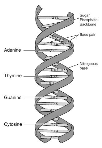 DNA is a double helix made up of a sugar-phosphate