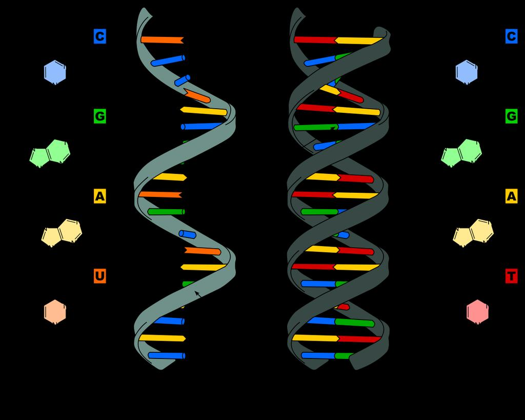 8.2 Structure of DNA ribonucleic acid (RNA) differs from DNA in three major ways.