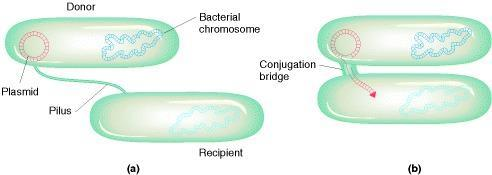Conjugation F+ F+ F (a) During conjugation, the pilus pulls two bacteria together. (b) Next, a bridge (essentially a pore) forms between the two cells.