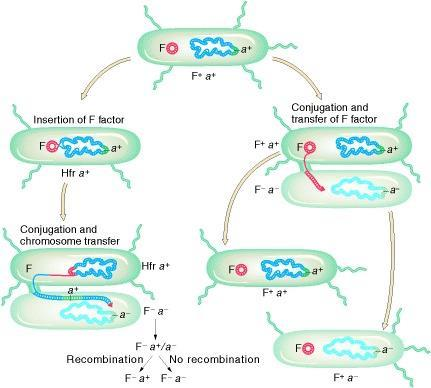 Summary events taking place in the conjugational cycle of E. coli.