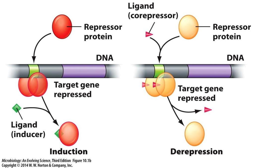 Transcriptional control by regulatory proteins Regulatory proteins Repressors Bind regulatory sequences in the DNA and prevent transcription of target genes