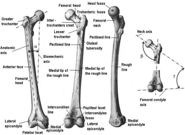 Methods and techniques for bio-system s materials behaviour analysis Leonard Gabriel MITU extremity of the femur (the knee center) forming an angle (anatomic angle of the femur) of 6-9, open upward