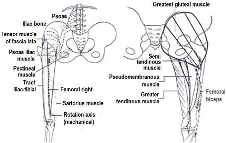 The movement of flexion is achieved mechanically by strong muscles (Figure 4.19) which link the femur, with different application points of force.