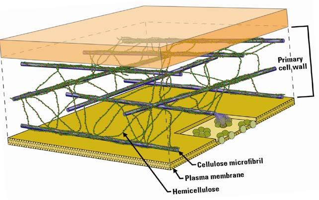 Structure of Biomass Cellulosic biomass is highly recalcitrant.