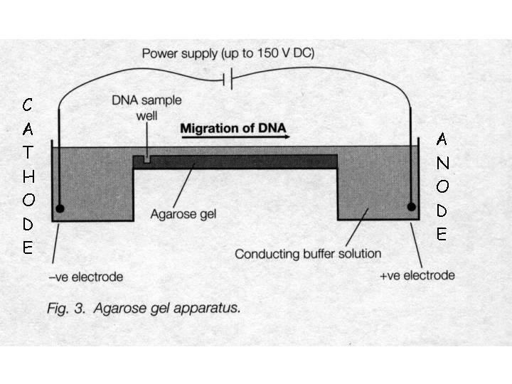 DNA is electrophoresed through the agarose gel from the cathode (negative) to the anode(positive) when a voltage is applied, due to the net negative charge carried on DNA.