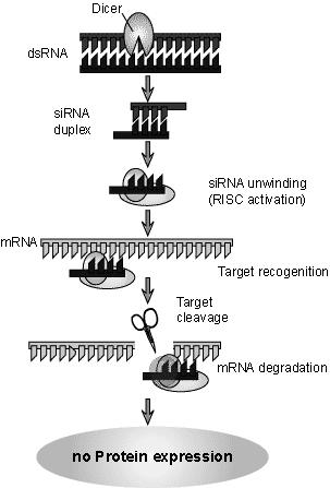 In medicine- genetically engineered insulin rdna technology was applied in therapeutic application by generating genetically engineered insulin for man.