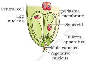Embryo Sac : Female gametophyte Nucellus : it covers embryo sac, seed up to maturation. Megasporogenesis The formation of megaspore from the megaspore mother cell MMC (2n) is called megasporogenesis.