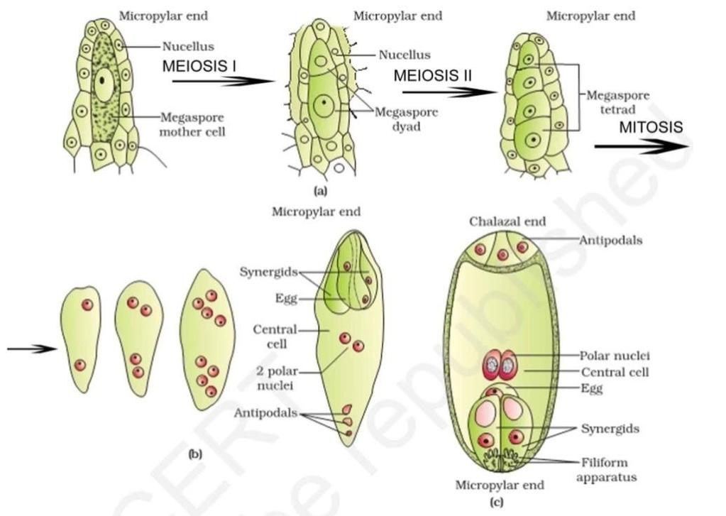 Synergid cell have special cellular thickening at the micropylar tip called filiform apparatus,which play an imp. role in guiding the pollen tube into the synergid.