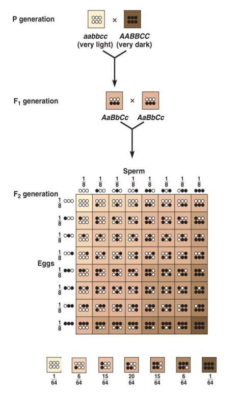 Genotype & phenotype ratio : 1:2:1 (Refer Fig. 5.6. page 76, NCERT). Co-dominance : Both parental genes expressed in F1 progeny so the offspring shows resemblance with both the parents.