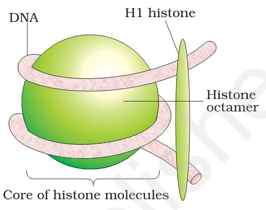 PACKAGING OF DNA HELIX DNA of eukaryotes is wrapped around positively charged histone proteins to form nucleosome. Nucleosome contains 200 base pairs of DNA helix.