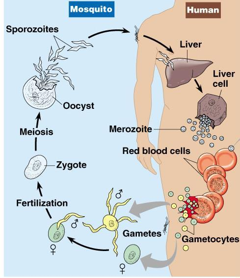 Sprozoites are injected into the body by female anopheles mosquito Sporozoite reach theliver through blood Parasite reproduces asexually in the liver and comes out in the blood by bursting theliver