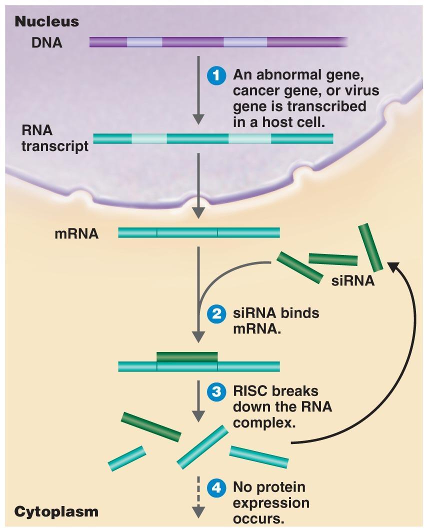 Therapeutic Applications Gene silencing Small interfering RNAs (sirnas) bind to mrna, which is then destroyed by RNA-induced silencing complex (RISC) RNA