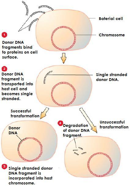 Transformation In some species transformation occurs naturally when the cell takes up a piece of foreign DNA from
