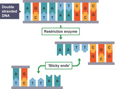 The previous diagram shows the introduction of a gene into a bacterium via a plasmid.