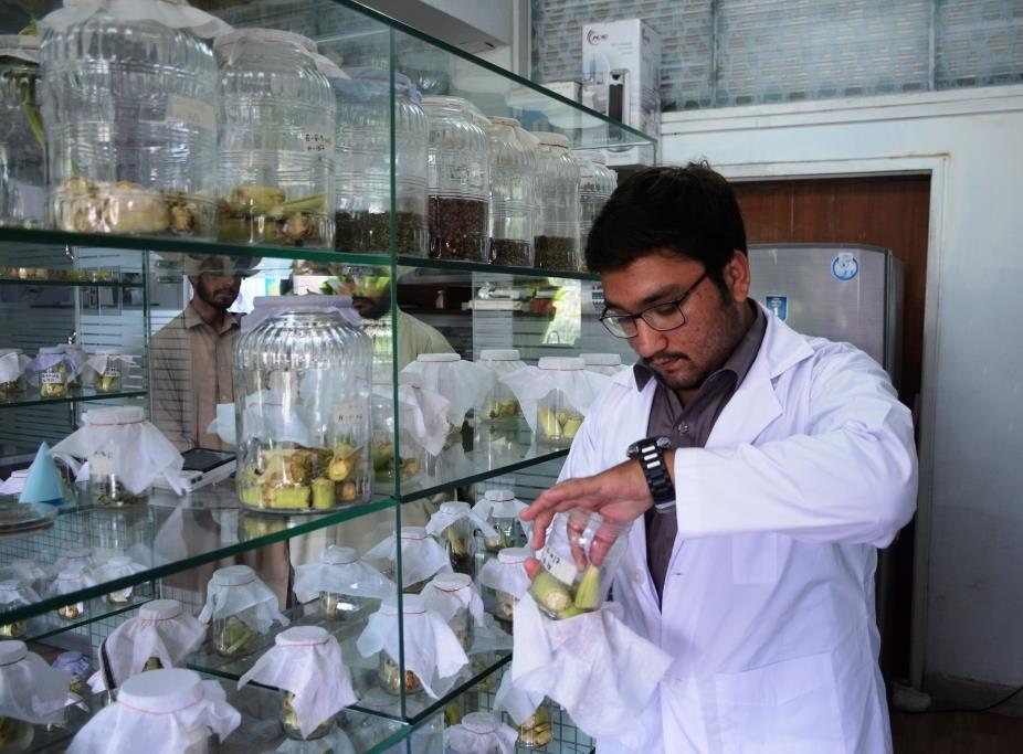 Identification of host-plant resistance in maize is part of the commissioned projects under the Agricultural Innovation Program (AIP) for Pakistan.