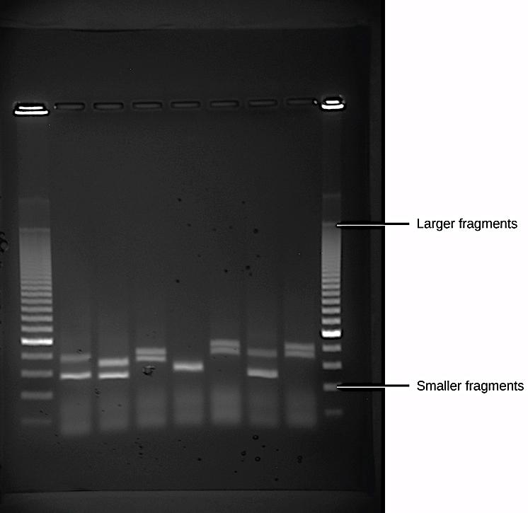 Gel electrophoresis DNA fragments from six samples run on a gel,