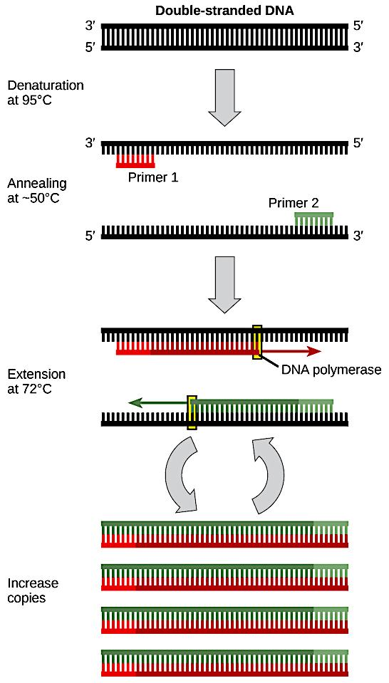 The polymerase chain reaction (PCR) is used to produce many copies of a